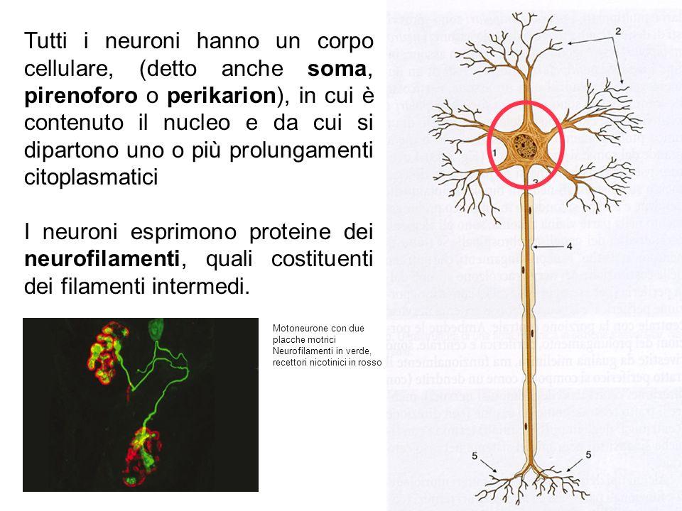 Tutti i neuroni hanno un corpo cellulare, (detto anche soma, pirenoforo o perikarion), in cui è contenuto il nucleo e da cui si dipartono uno o più prolungamenti citoplasmatici