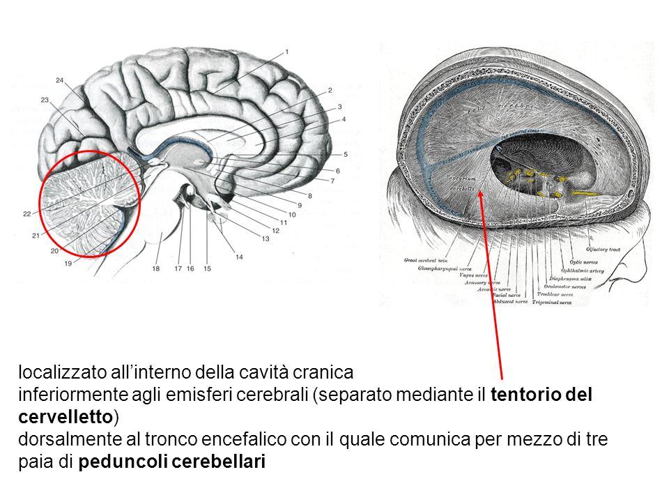 localizzato all'interno della cavità cranica