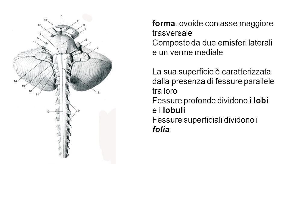forma: ovoide con asse maggiore trasversale