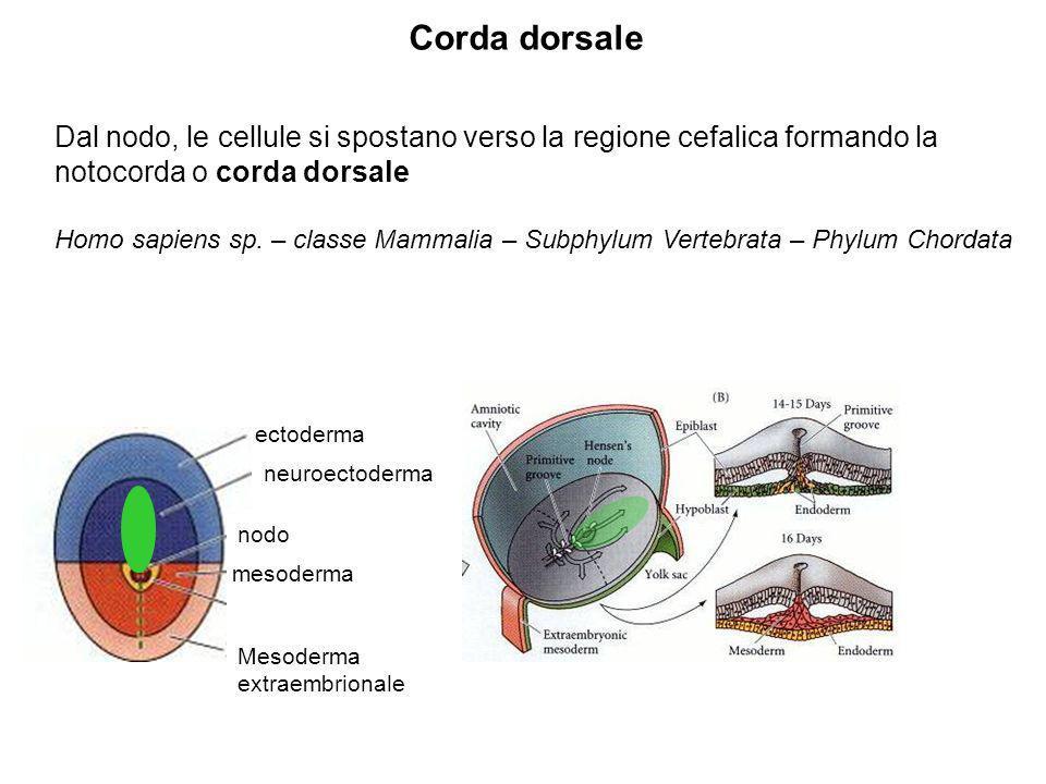Corda dorsaleDal nodo, le cellule si spostano verso la regione cefalica formando la notocorda o corda dorsale.