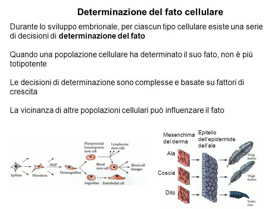 Determinazione del fato cellulare