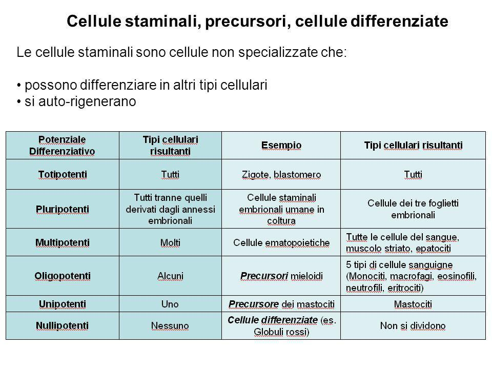 Cellule staminali, precursori, cellule differenziate