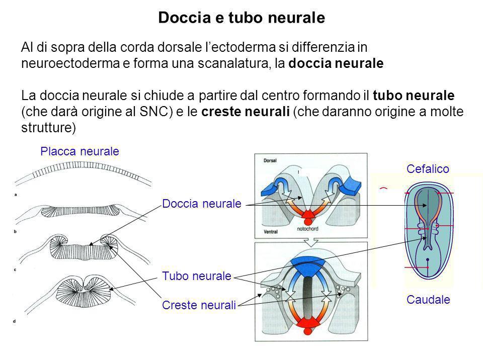 Doccia e tubo neurale Al di sopra della corda dorsale l'ectoderma si differenzia in neuroectoderma e forma una scanalatura, la doccia neurale.