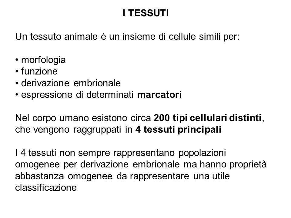 I TESSUTI Un tessuto animale è un insieme di cellule simili per: morfologia. funzione. derivazione embrionale.