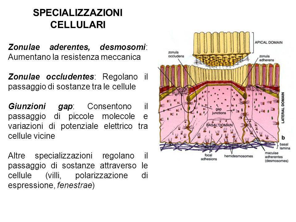 SPECIALIZZAZIONI CELLULARI
