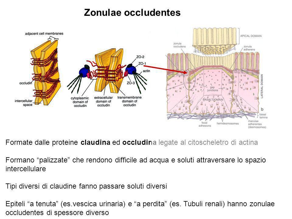 Zonulae occludentes Formate dalle proteine claudina ed occludina legate al citoscheletro di actina.