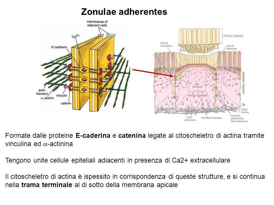 Zonulae adherentes Formate dalle proteine E-caderina e catenina legate al citoscheletro di actina tramite vinculina ed a-actinina.