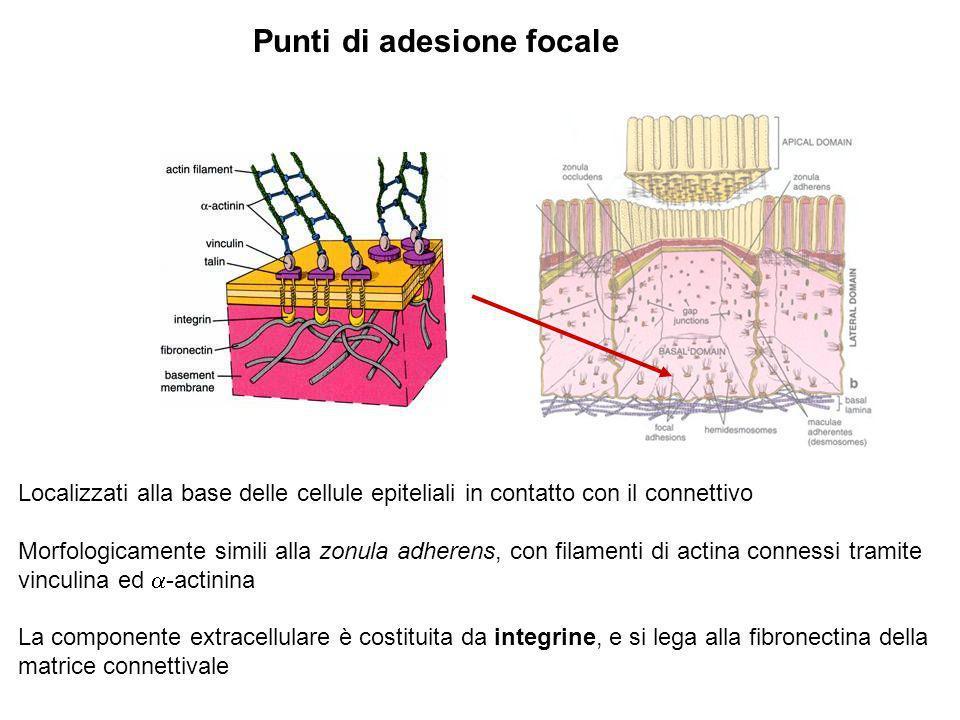 Punti di adesione focale