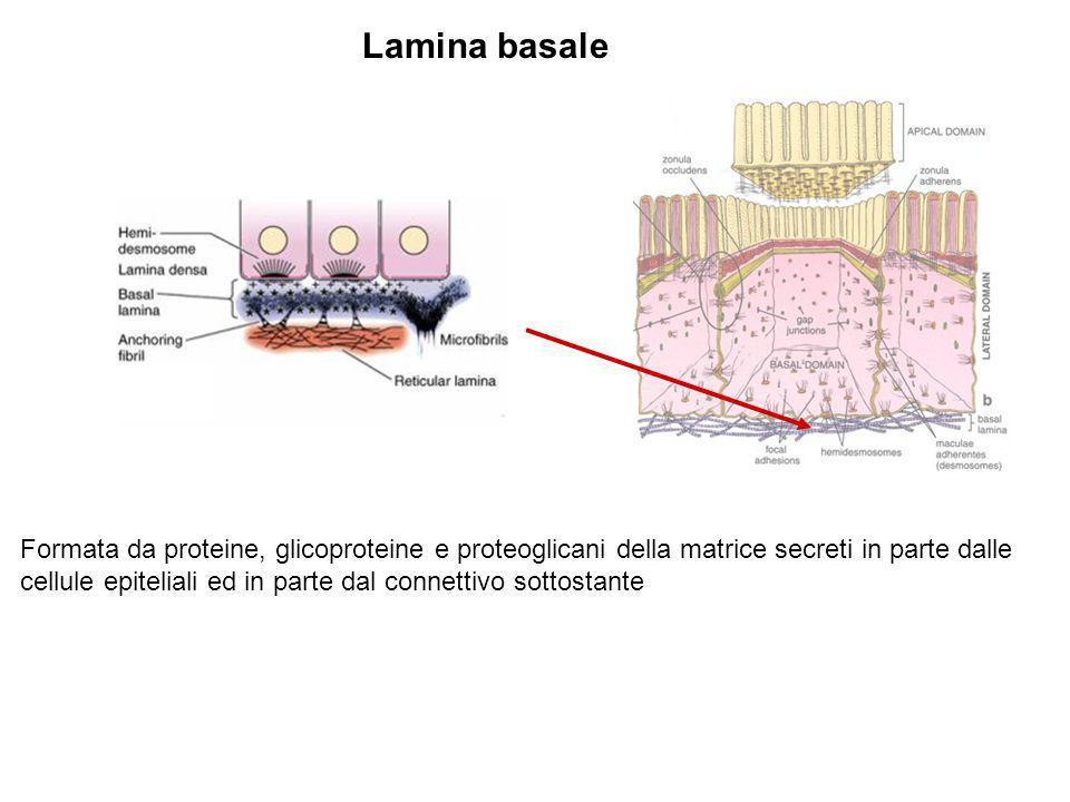 Lamina basale