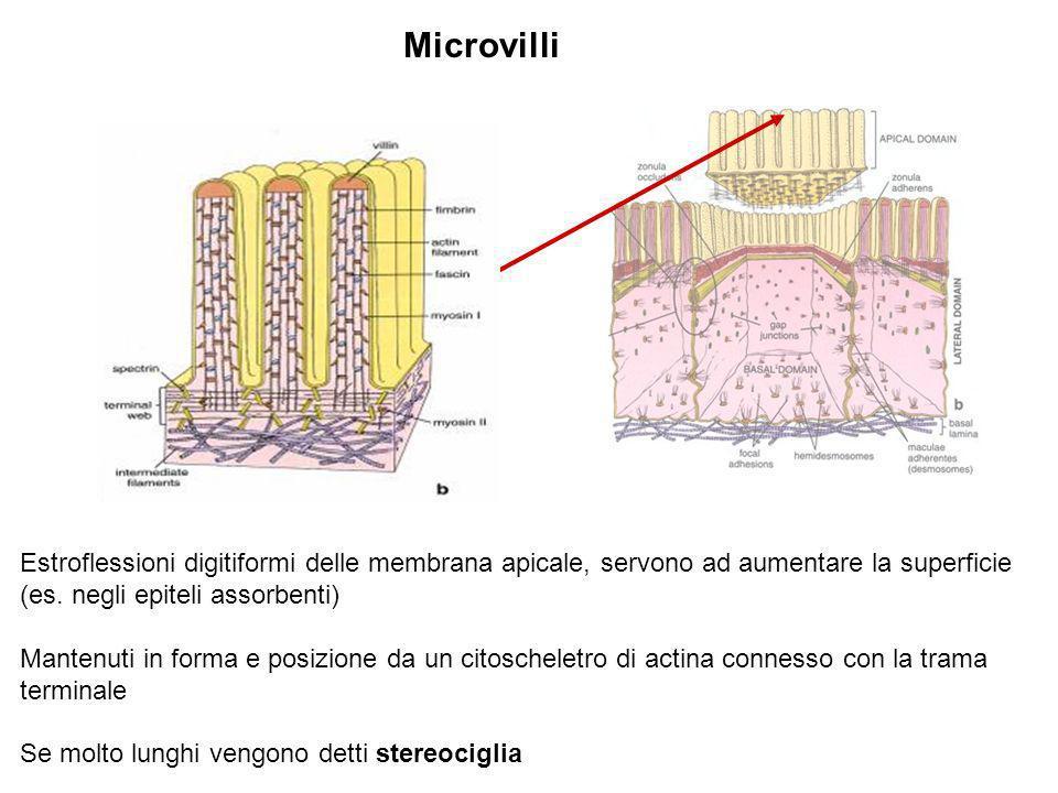 MicrovilliEstroflessioni digitiformi delle membrana apicale, servono ad aumentare la superficie (es. negli epiteli assorbenti)