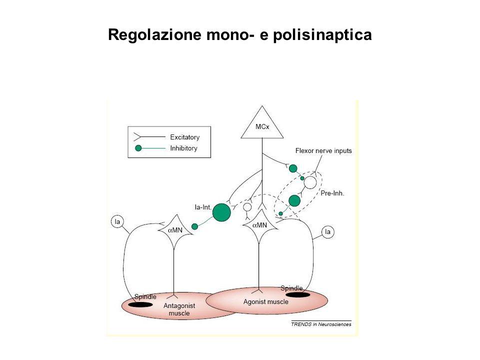 Regolazione mono- e polisinaptica