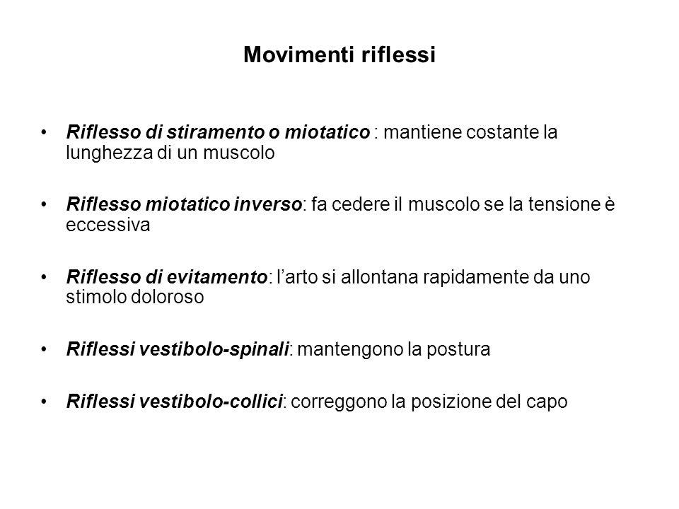 Movimenti riflessi Riflesso di stiramento o miotatico : mantiene costante la lunghezza di un muscolo.