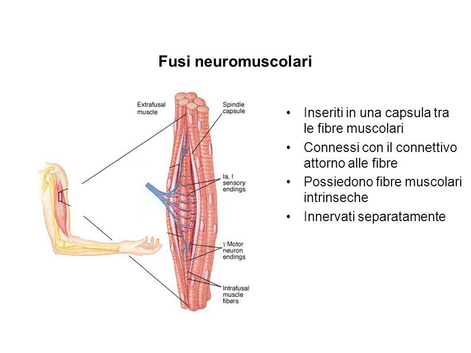Fusi neuromuscolari Inseriti in una capsula tra le fibre muscolari