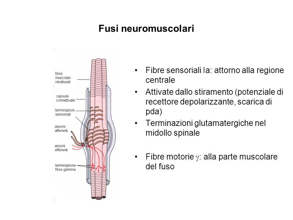Fusi neuromuscolari Fibre sensoriali Ia: attorno alla regione centrale