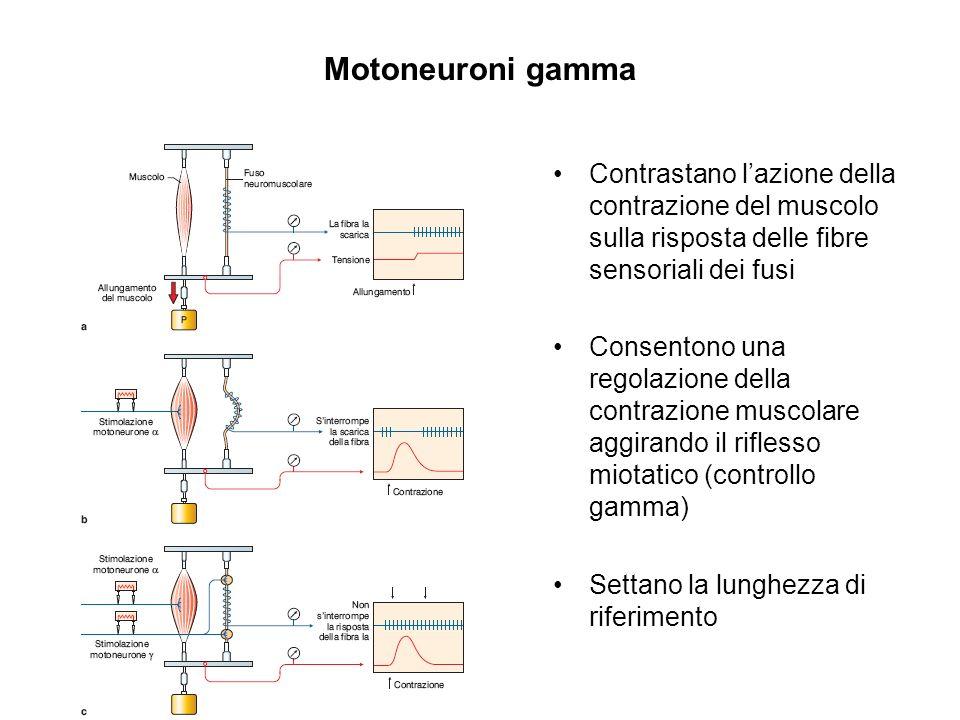 Motoneuroni gamma Contrastano l'azione della contrazione del muscolo sulla risposta delle fibre sensoriali dei fusi.