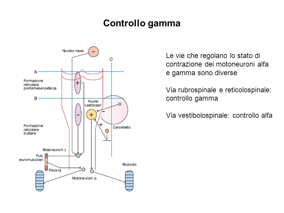 Controllo gamma Le vie che regolano lo stato di contrazione dei motoneuroni alfa e gamma sono diverse.
