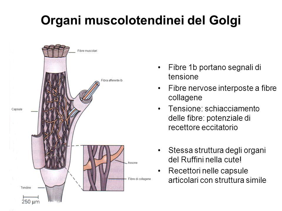 Organi muscolotendinei del Golgi