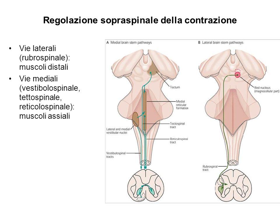Regolazione sopraspinale della contrazione