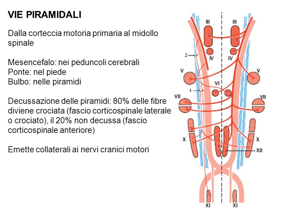 VIE PIRAMIDALI Dalla corteccia motoria primaria al midollo spinale