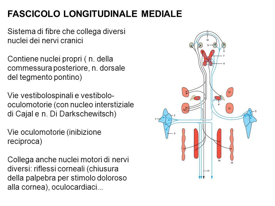 FASCICOLO LONGITUDINALE MEDIALE
