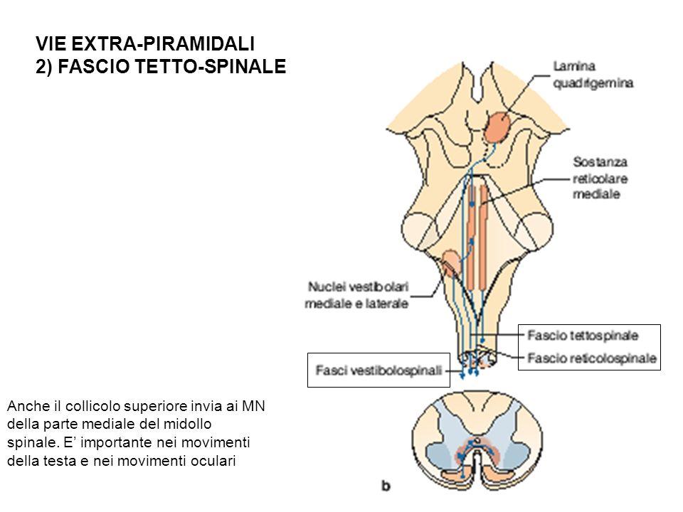 2) FASCIO TETTO-SPINALE