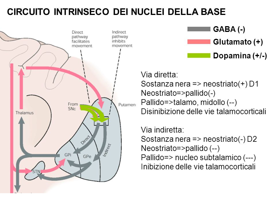 CIRCUITO INTRINSECO DEI NUCLEI DELLA BASE
