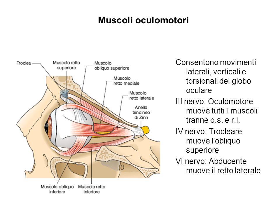 Muscoli oculomotori Consentono movimenti laterali, verticali e torsionali del globo oculare.