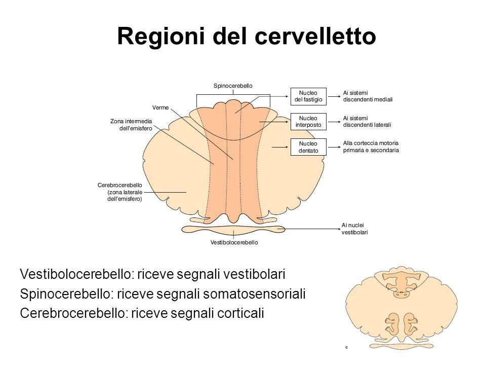 Regioni del cervelletto