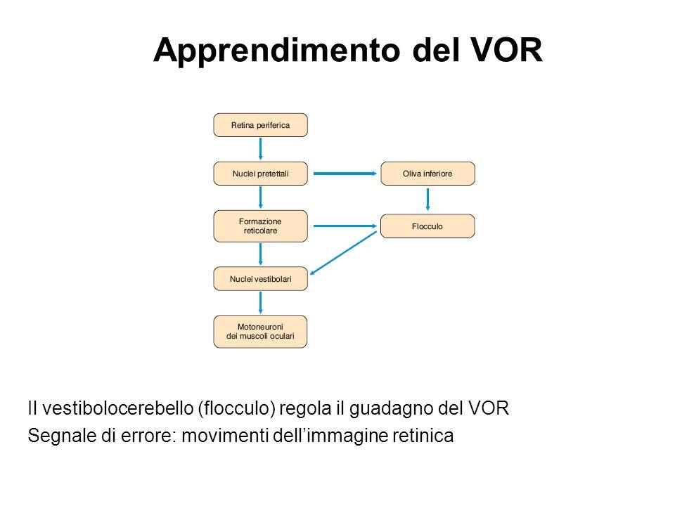 Apprendimento del VOR Il vestibolocerebello (flocculo) regola il guadagno del VOR.