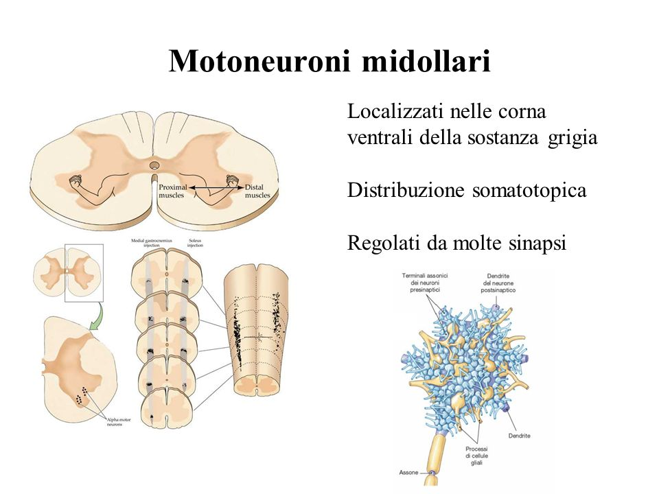 Motoneuroni midollari