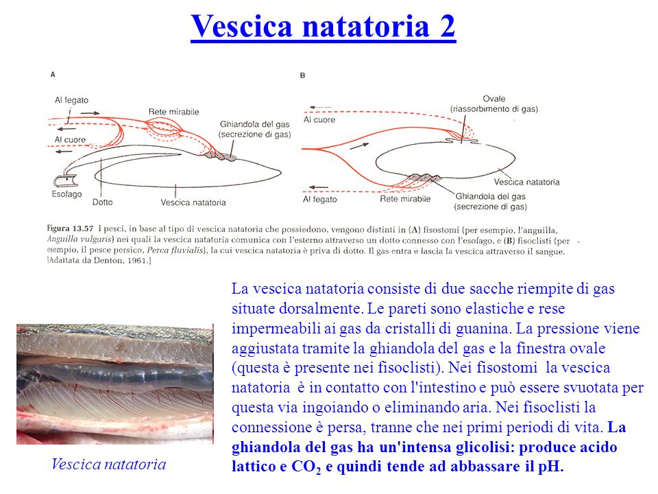 Vescica natatoria 2