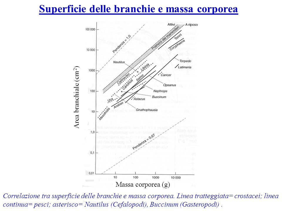 Superficie delle branchie e massa corporea