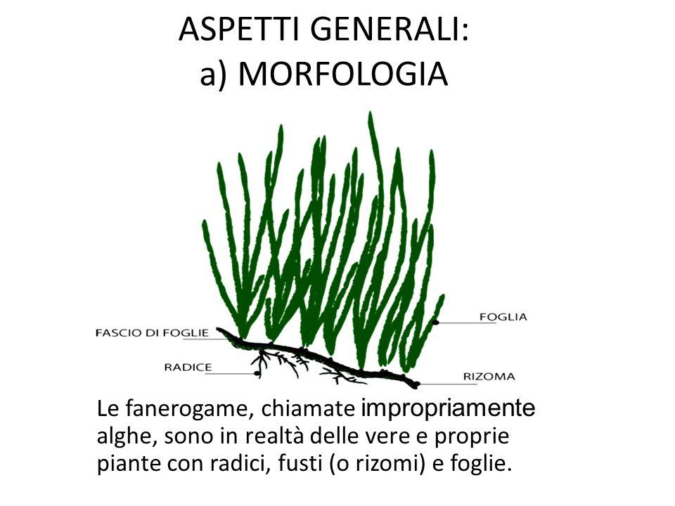 ASPETTI GENERALI: a) MORFOLOGIA