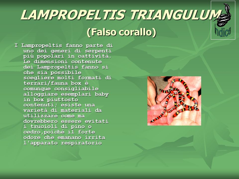 LAMPROPELTIS TRIANGULUM (Falso corallo)