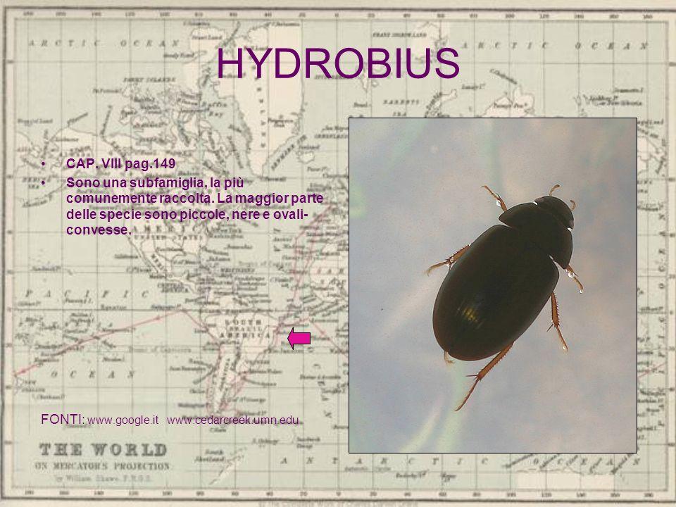 HYDROBIUS CAP. VIII pag.149. Sono una subfamiglia, la più comunemente raccolta. La maggior parte delle specie sono piccole, nere e ovali-convesse.