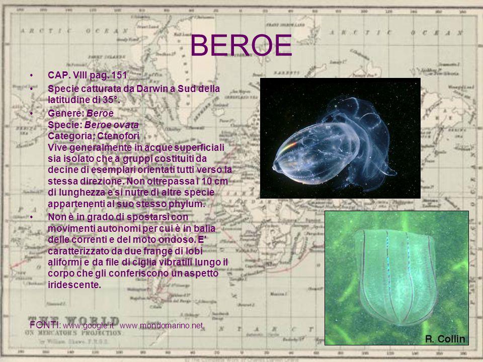 BEROE CAP. VIII pag. 151. Specie catturata da Darwin a Sud della latitudine di 35°.