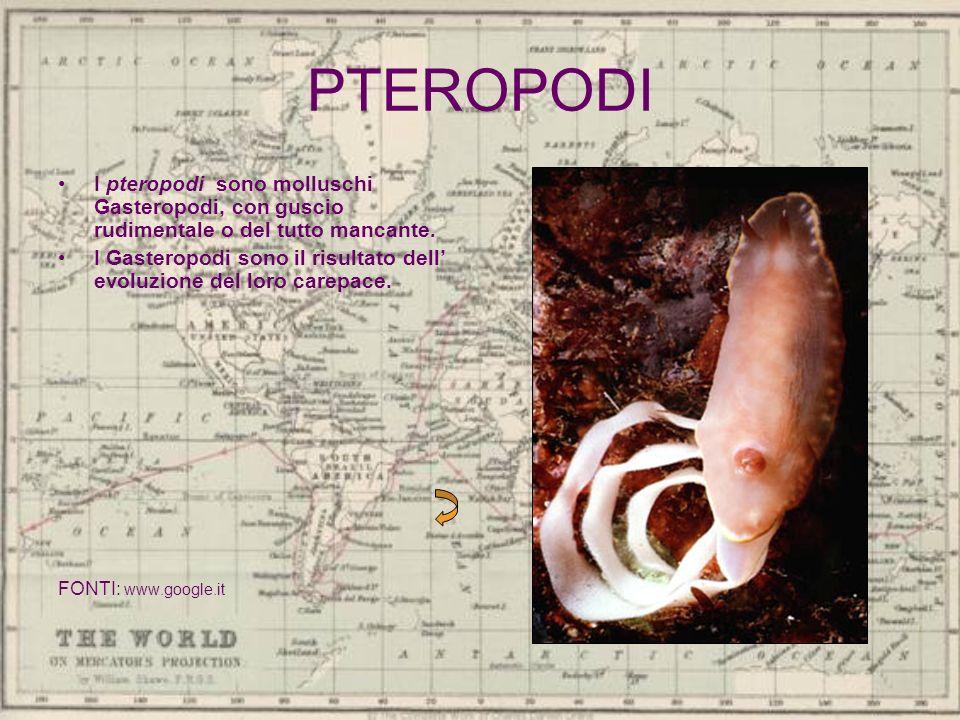 PTEROPODI I pteropodi sono molluschi Gasteropodi, con guscio rudimentale o del tutto mancante.