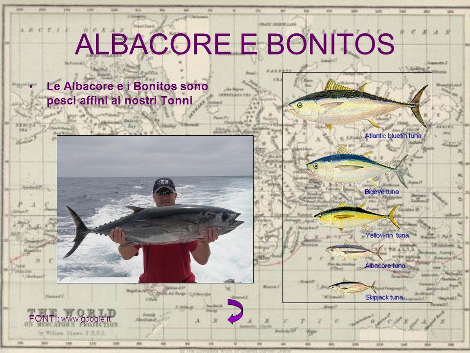 ALBACORE E BONITOS Le Albacore e i Bonitos sono pesci affini ai nostri Tonni FONTI: www.google.it
