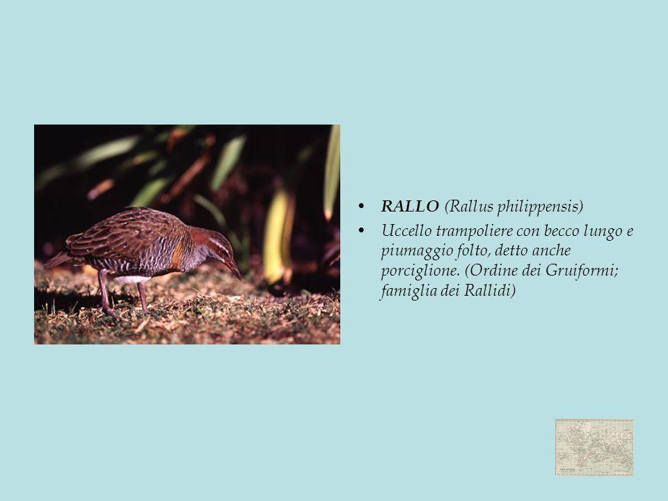 RALLO (Rallus philippensis)