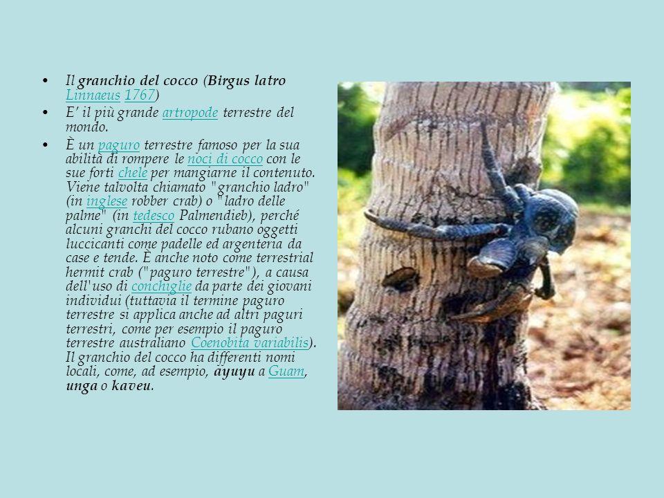 Il granchio del cocco (Birgus latro Linnaeus 1767)