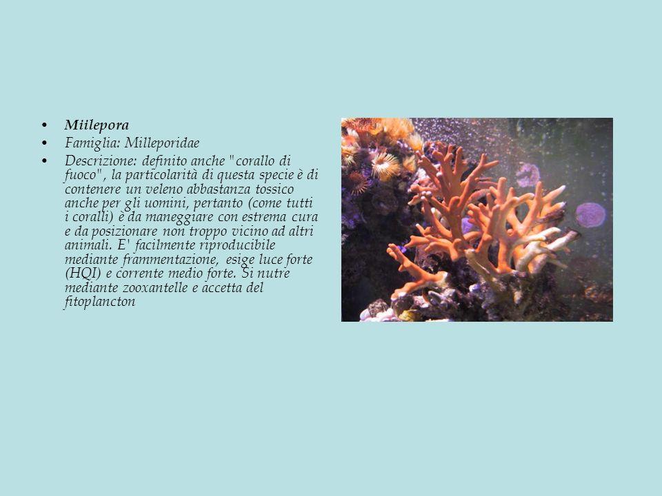 Miilepora Famiglia: Milleporidae.