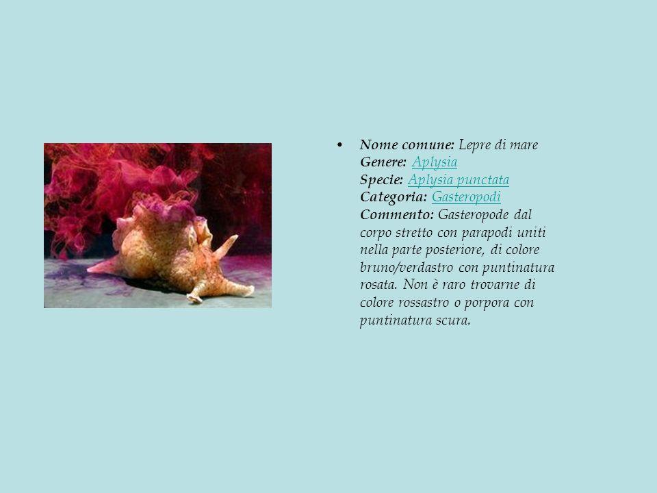Nome comune: Lepre di mare Genere: Aplysia Specie: Aplysia punctata Categoria: Gasteropodi Commento: Gasteropode dal corpo stretto con parapodi uniti nella parte posteriore, di colore bruno/verdastro con puntinatura rosata.