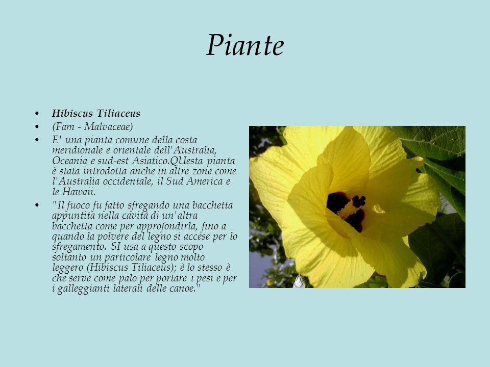 Piante Hibiscus Tiliaceus (Fam - Malvaceae)