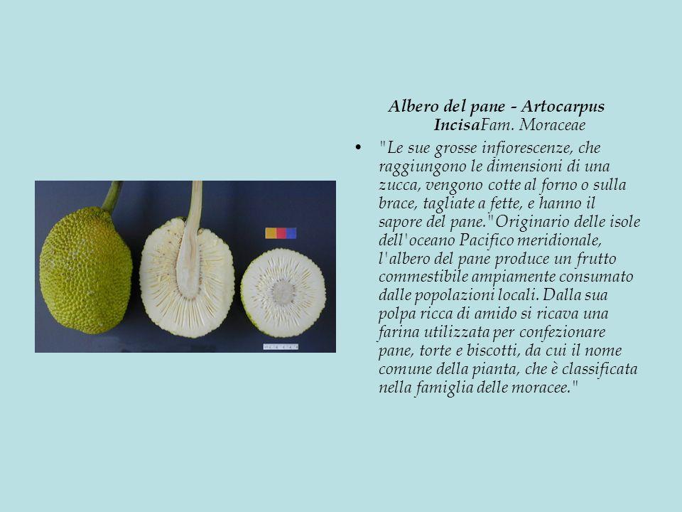 Albero del pane - Artocarpus IncisaFam. Moraceae