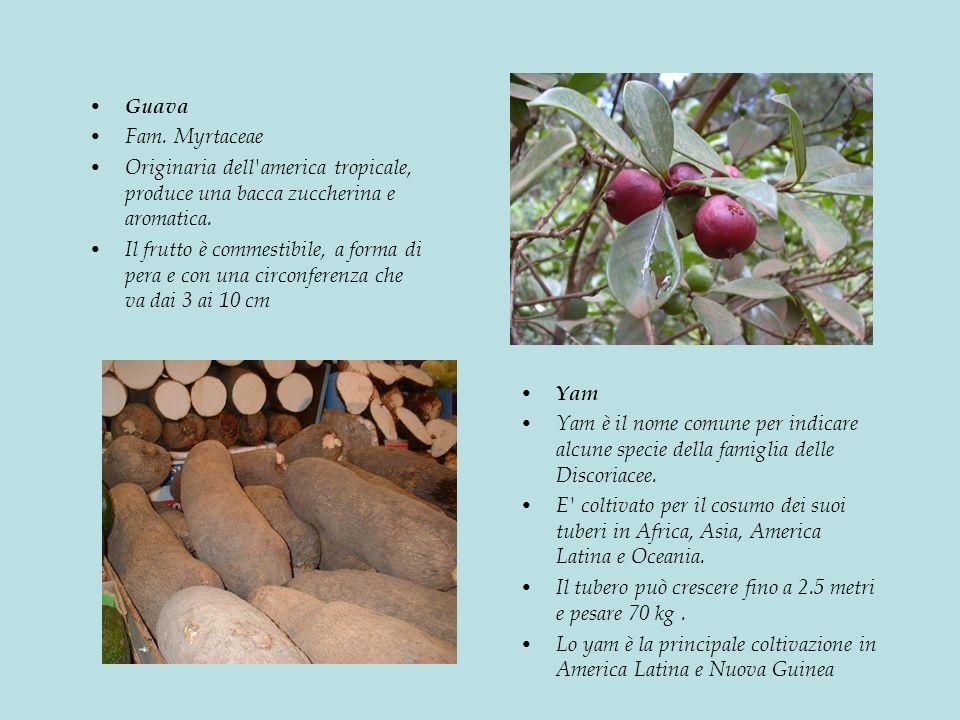 Guava Fam. Myrtaceae. Originaria dell america tropicale, produce una bacca zuccherina e aromatica.