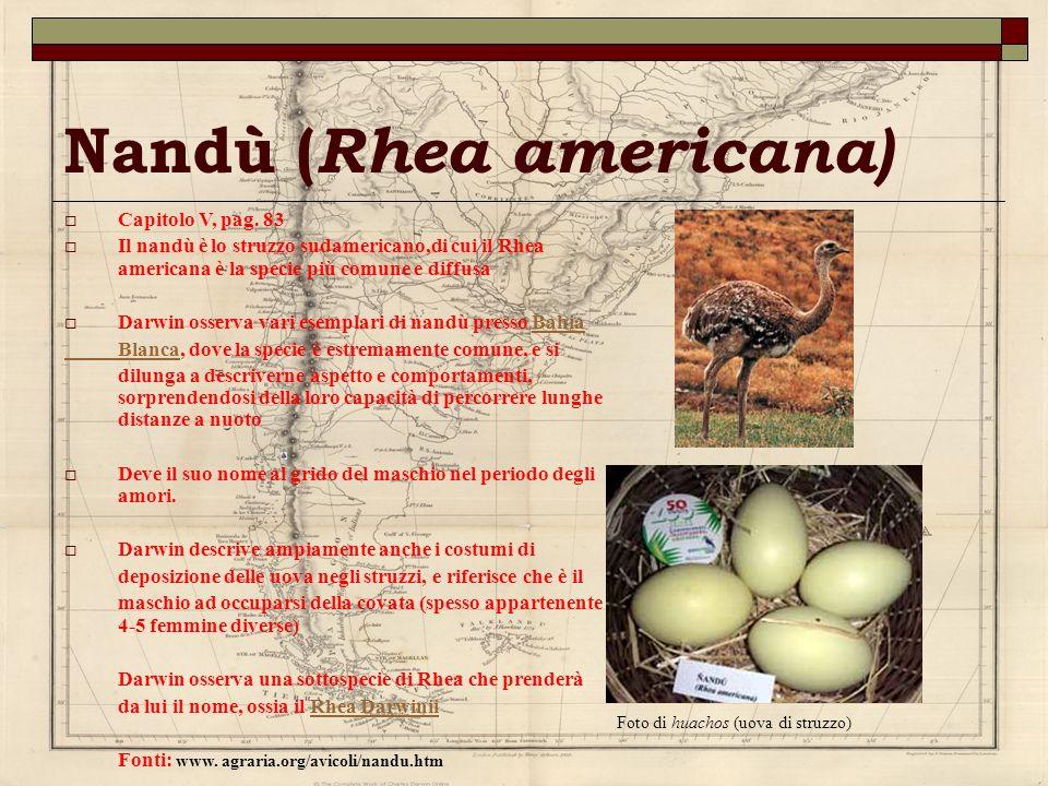 Nandù (Rhea americana)