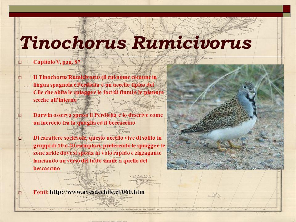 Tinochorus Rumicivorus