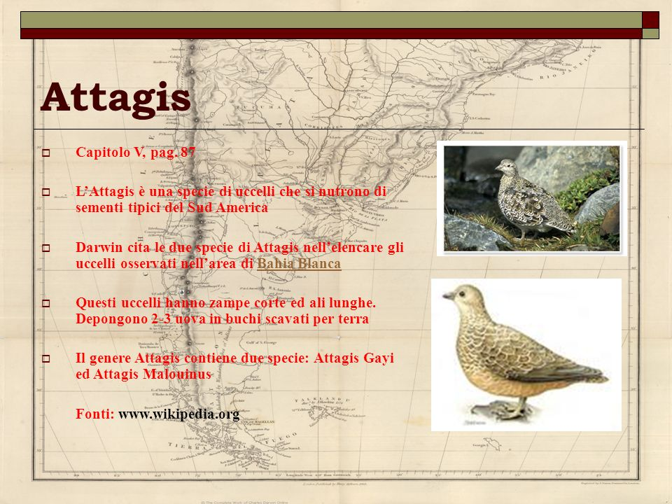 Attagis Capitolo V, pag. 87. L'Attagis è una specie di uccelli che si nutrono di sementi tipici del Sud America.