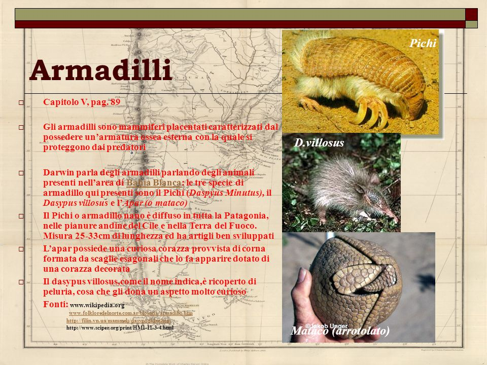 Armadilli Pichi D.villosus Mataco (arrotolato) Capitolo V, pag. 89