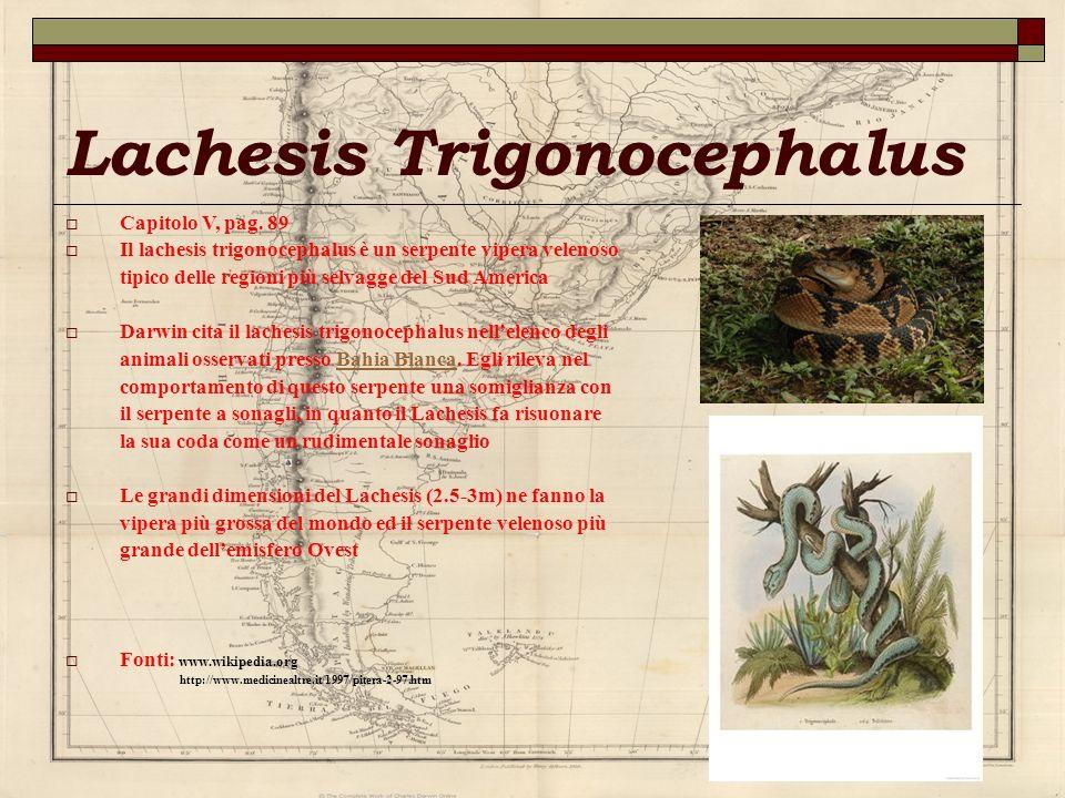 Lachesis Trigonocephalus
